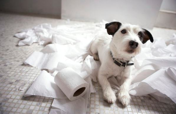 Dog laying in mess of toilet paper
